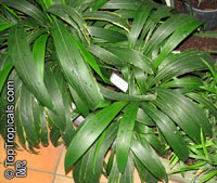 Setaria palmifolia, Panicum palmifolium, Palmgrass, Highland Pitpit  Click to see full-size image