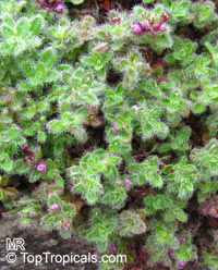 Thymus serpyllum, Wild Thyme, Creeping Thyme  Click to see full-size image