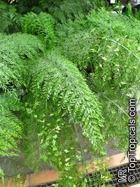 Asplenium viviparum, Asplenium daucifolium, Mother Fern  Click to see full-size image