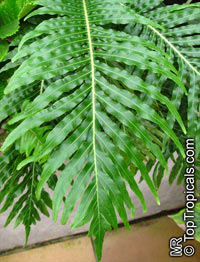 Blechnum sp., Hard Fern  Click to see full-size image
