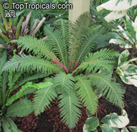 Blechnum occidentale, Hard Fern  Click to see full-size image