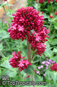 Centranthus ruber , Red Valerian   Click to see full-size image