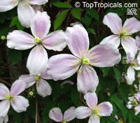 Clematis montana, Himalayan Clematis, Anemone Clematis  Click to see full-size image