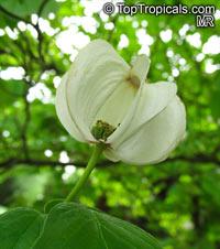 Cornus florida, Flowering DogwoodClick to see full-size image