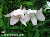 Crinum sp., River Lily