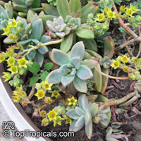 Graptopetalum sp., Graptopetalum