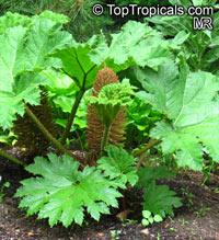 Gunnera manicata, Giant Rhubarb, Giant Gunnera, Mammutblatt, Dinosaur Food PlantClick to see full-size image