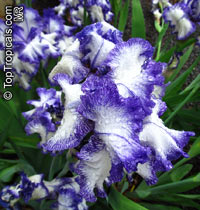 Iris (Bearded Hybrids), Bearded Iris  Click to see full-size image