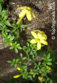 Jasminum parkeri - Himalayian Bonsai JasmineClick to see full-size image