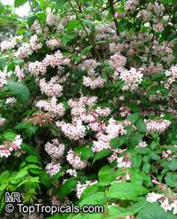 Kolkwitzia amabilis, Linnaea amabilis, Beauty Bush  Click to see full-size image