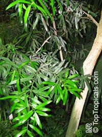 Podocarpus neriifolius, Oleander Podocarp  Click to see full-size image