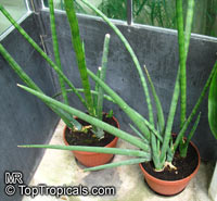 Sansevieria cylindrica, Sansevieria stuckyi, Snake Plant