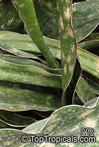 Sansevieria kirkii, Star Sansevieria, Spotted Snake PlantClick to see full-size image