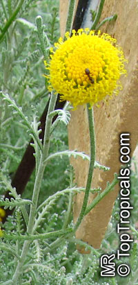 Santolina chamaecyparissus, Lavender CottonClick to see full-size image