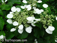 Schizophragma hydrangeoides, Japanese Hydrangea Vine, Japanese Climbing Hydrangea  Click to see full-size image