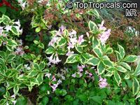 Weigela sp., Weigela  Click to see full-size image