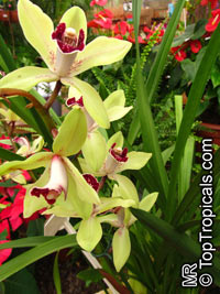 Cymbidium sp., Cymbidium  Click to see full-size image