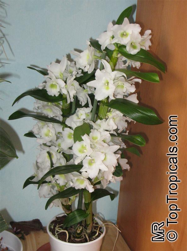 dendrobium sp dendrobium orchid. Black Bedroom Furniture Sets. Home Design Ideas