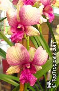 Dendrobium phalaenopsis, Dendrobium  Click to see full-size image