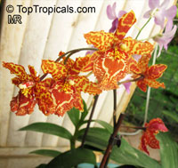 Odontoglossum sp., Odontoglossum  Click to see full-size image