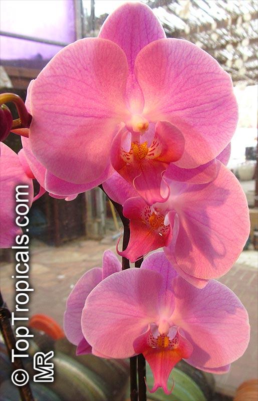 Phalaenopsis Sp Phalaenopsis Orchid Moth Orchid