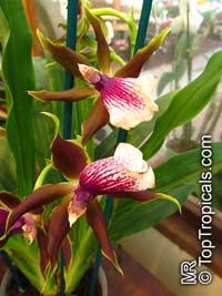 Zygopetalum sp., ZygopetalumClick to see full-size image