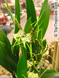 Brassia sp., Spider Orchid  Click to see full-size image