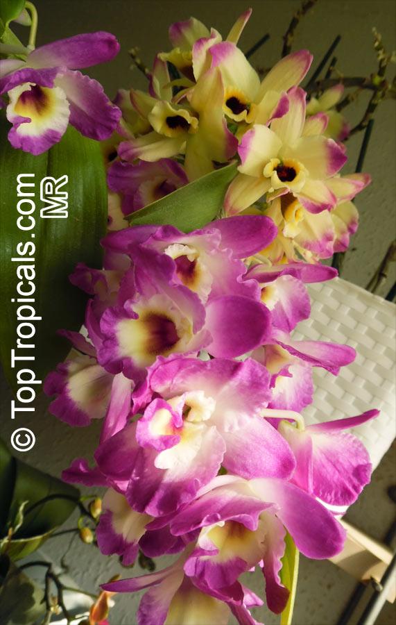 dendrobium nobile dendrobium nobile orchid. Black Bedroom Furniture Sets. Home Design Ideas