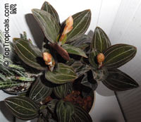Ludisia discolor, Haemaria discolor, Anoectochilus dawsonianus, Myoda rufescens, Jeweled Ludisia, Jewel Orchid, Goodyera