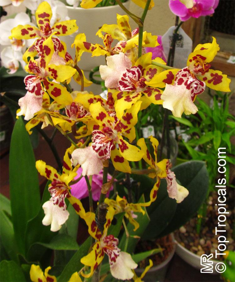 Oncidium Sp Oncidium Orchid Toptropicals Com