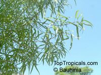 Brachychiton rupestris, Queensland Bottle Tree  Click to see full-size image