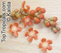 Clavija ornata, Clavija longifolia, Ornate Clavija  Click to see full-size image