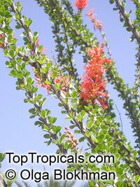 Fouquieria splendens, Ocotillo, Candlewood, Coachwhip, Candlewood, Slimwood, Desert coral, Jacob's staff, Jacob cactus, Vine cactus  Click to see full-size image