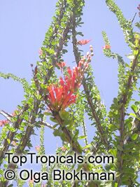 Fouquieria splendens, Ocotillo - seeds  Click to see full-size image
