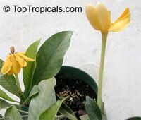 Gardenia gjellerupii, Thai Gardenia  Click to see full-size image