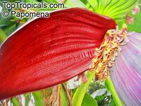 Musa rubinea - seedsClick to see full-size image