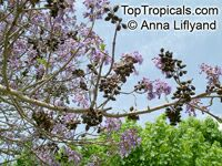Paulownia sp., Princess Tree, Empress Tree  Click to see full-size image