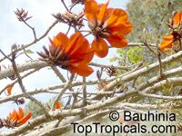 Erythrina caffra, Erythrina constantiana, Erythrina insignis, South African Coral tree, Kaffirboom  Click to see full-size image