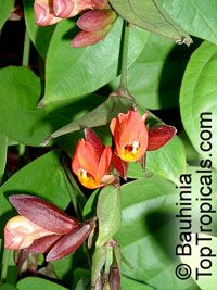 Thunbergia coccinea, Scarlet Thunbergia  Click to see full-size image
