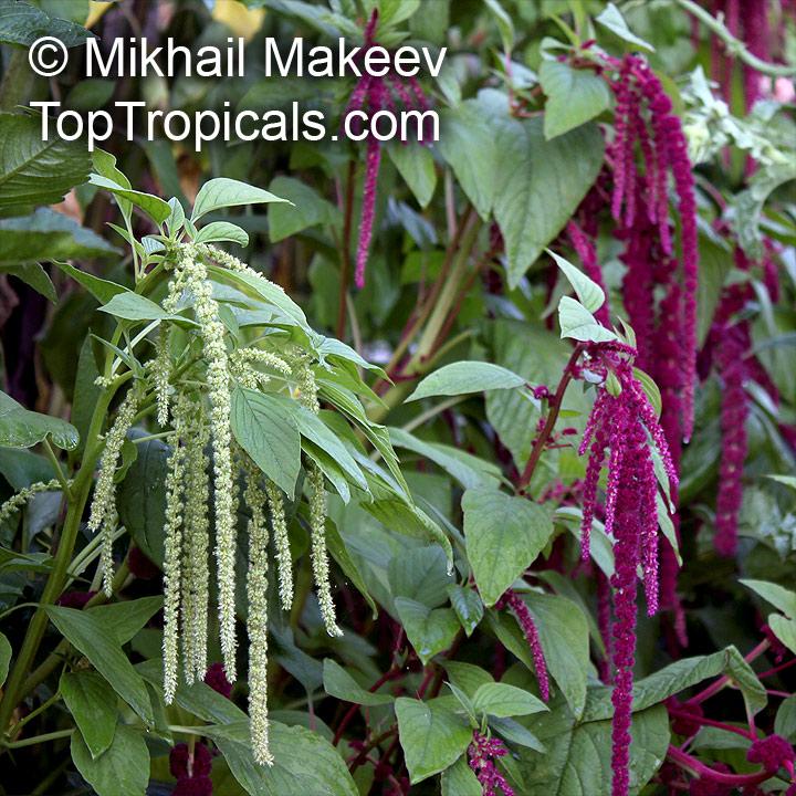 Amaranthus_caudatus595MikMak.jpg