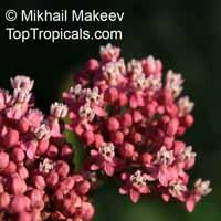 Asclepias incarnata, Swamp Milkweed, Rose Milkweed, Swamp Silkweed  Click to see full-size image