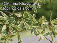 Bucida sp.variegata, Dwarf Geometry TreeClick to see full-size image