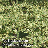 Bucida sp.variegata, Dwarf Geometry Tree  Click to see full-size image