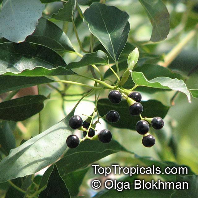 Garden Bush: Cinnamomum Camphora, Camphor Tree, Camphor Laurel