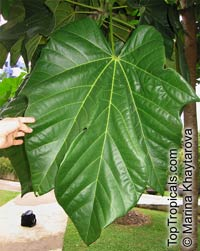 Cola gigantea, Giant Cola  Click to see full-size image