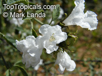 Cordia parvifolia, Little Leaf Cordia  Click to see full-size image