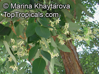 Dalbergia cochinchinensis, Dalbergia cambodiana, Thailand Rosewood  Click to see full-size image