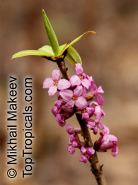 Daphne sp., Winter Daphne