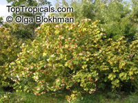 Dombeya burgessiae , Pink Wild Pear, Pink Dombeya, Tropical Hydrangea  Click to see full-size image