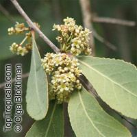 Euclea sp., Euclea  Click to see full-size image